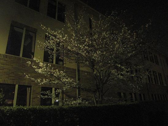 130328 大学の夜桜1