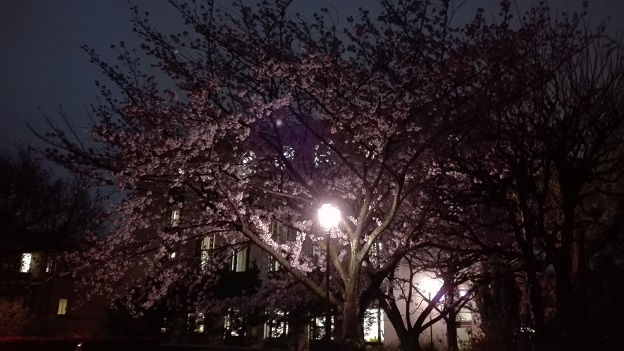 170411 大学夜桜 (4)