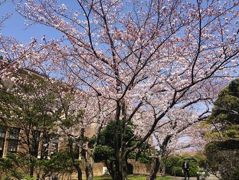 150330 大学の桜 (5)