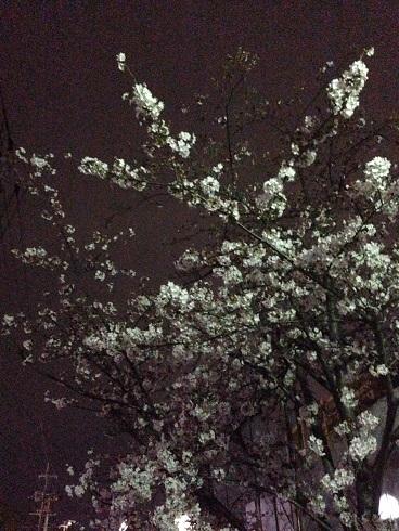 150331 新参ズ・夜桜 (2)