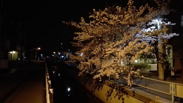 170414 ヌートリア・桜 (3)