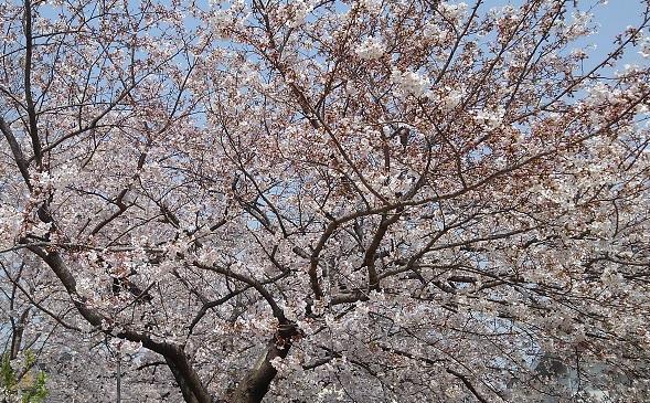 190407 投票所の桜 (1)
