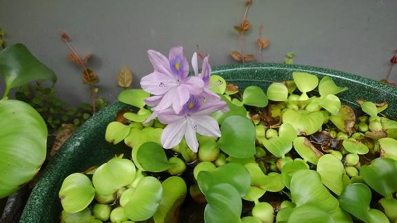 200910 メダカの花 (2)
